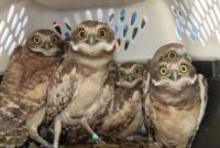 crateful-of-young-owls.jpg