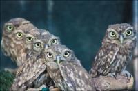 baby-owls-00.jpg