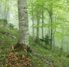 В буковом лесу 1