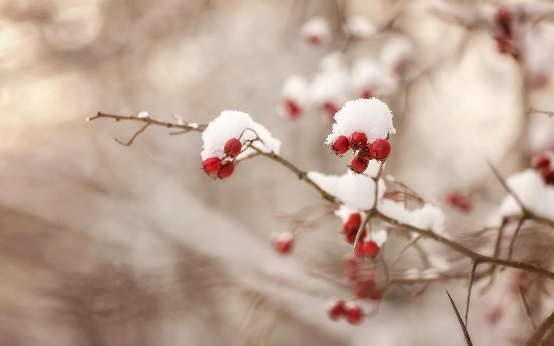 Зимний боярышник