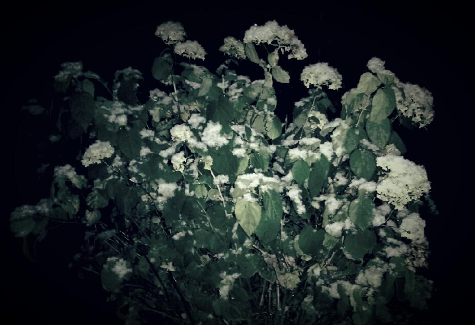 [С]нежные цветы