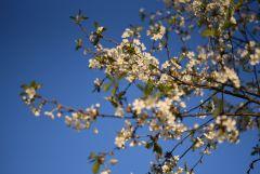 Цветение сего года. :)