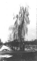 1974. Март. Плакучая береза на Старо-Ярославском шоссе