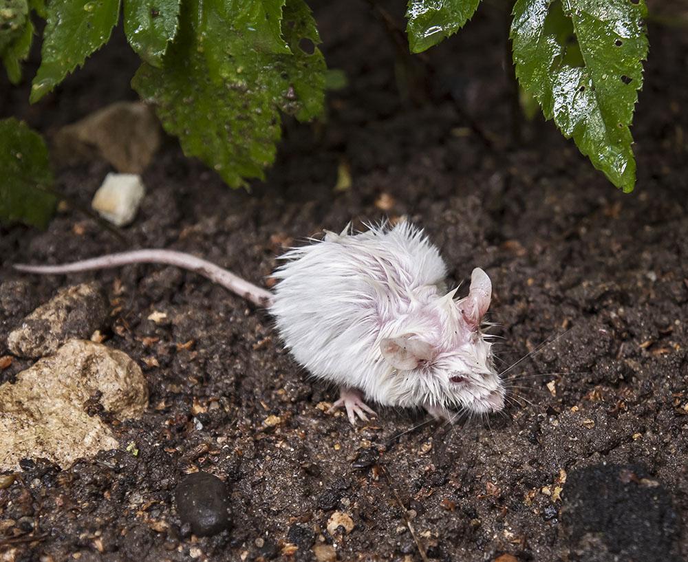Картинки мокрая крыса