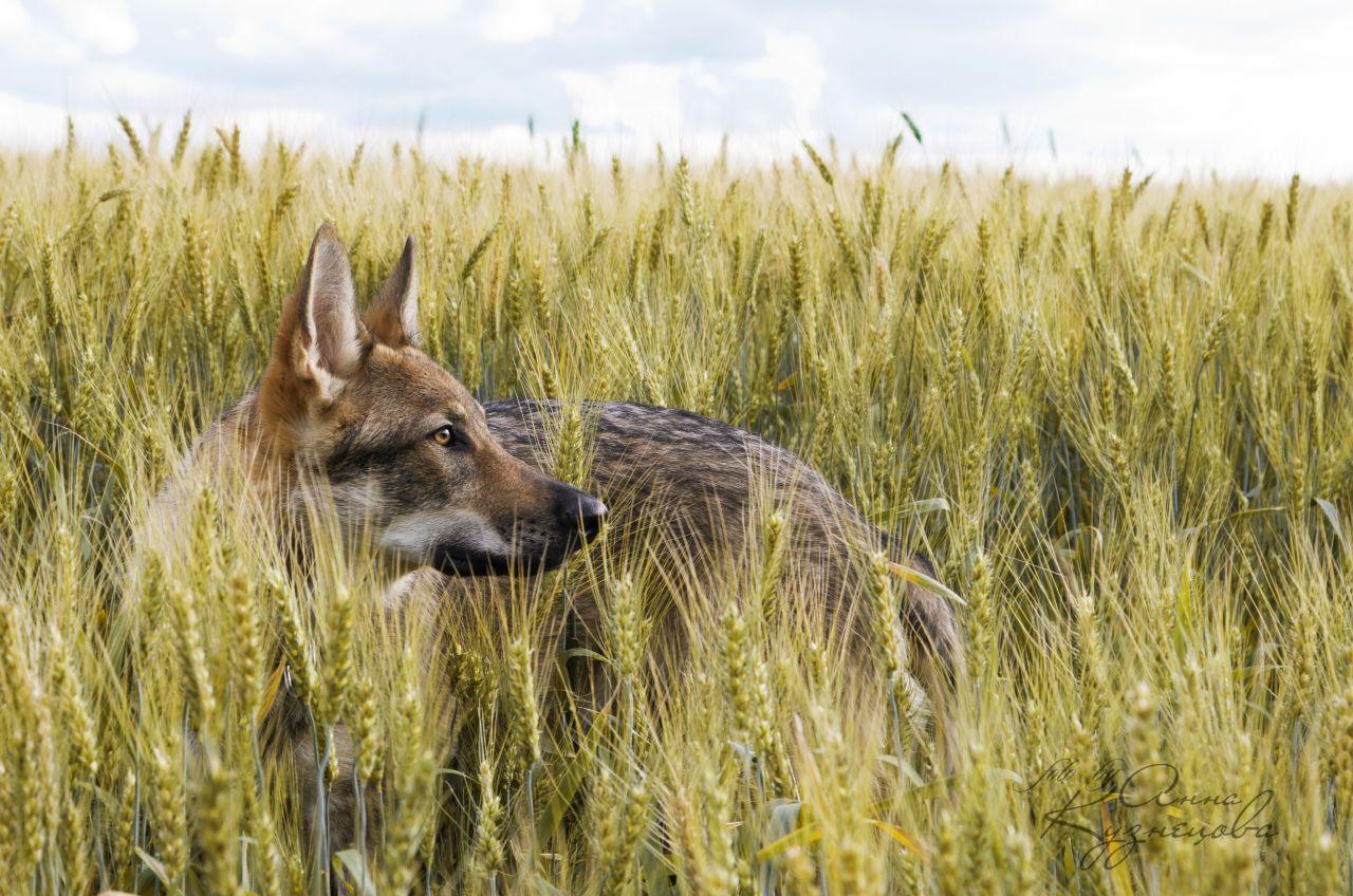 Наш любимый влчак Имрюша