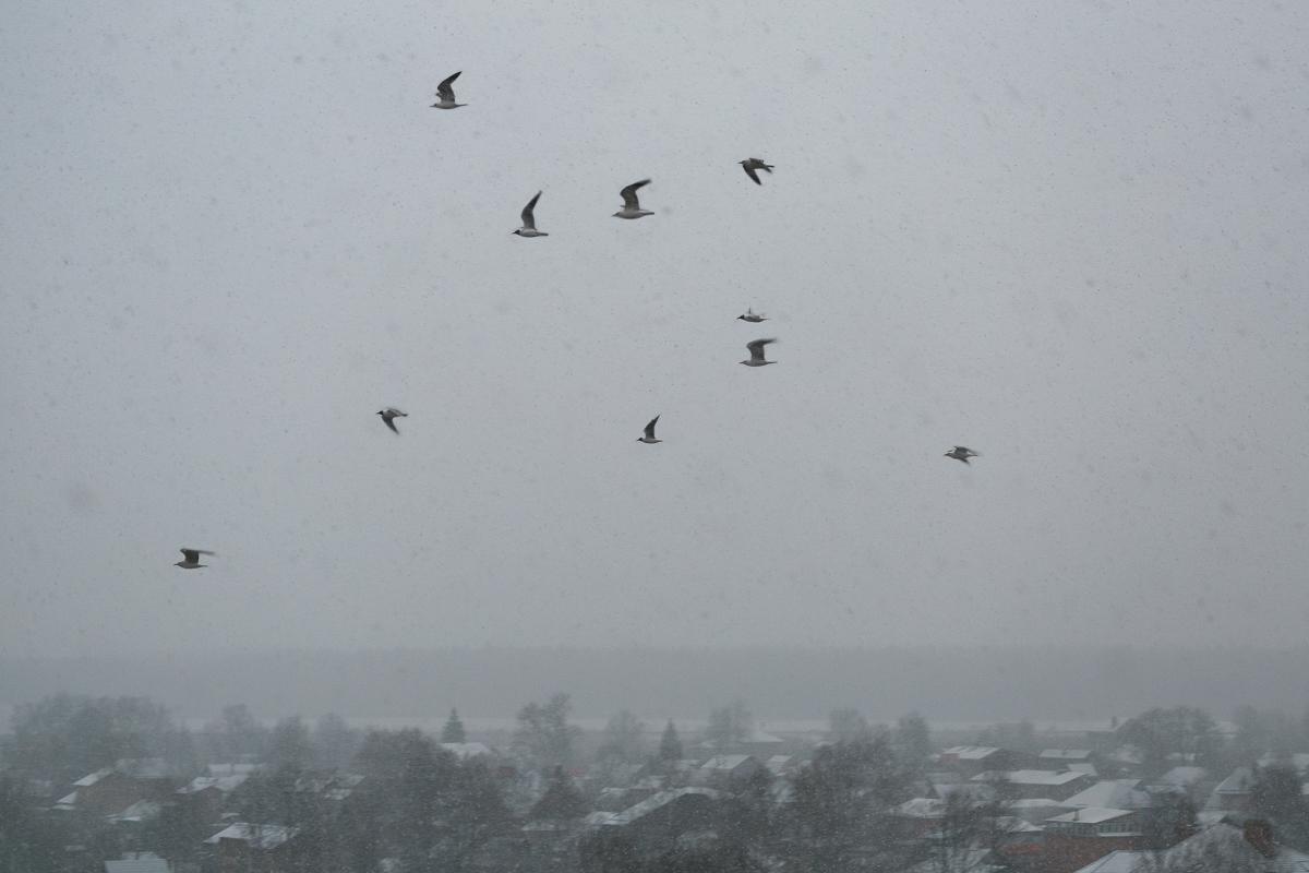 Чайки во время снегопада