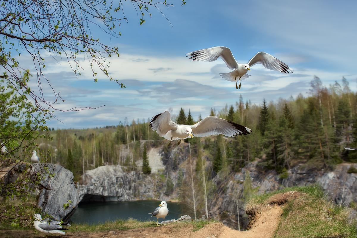 Чайки в горном парке Рускеала