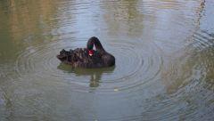 черный лебедь на пруду