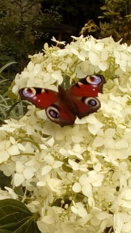 бабочка грт.jpg