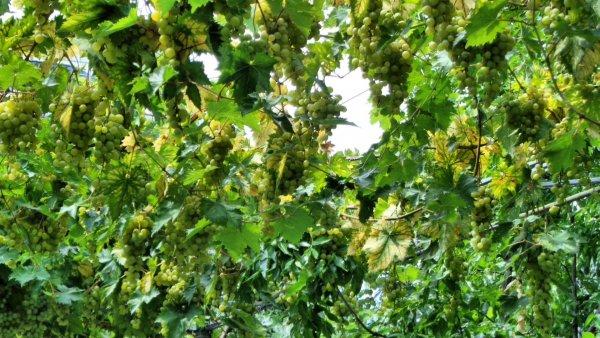 Виноградно