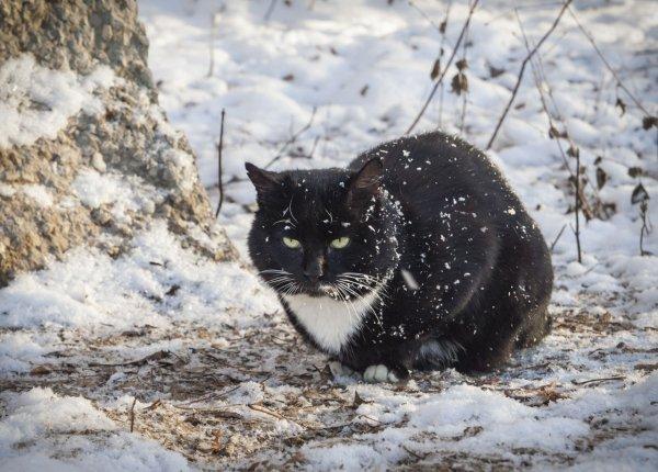 Кот сибирский, одна штука