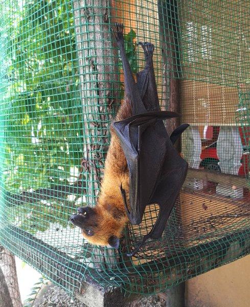Летучая лисица