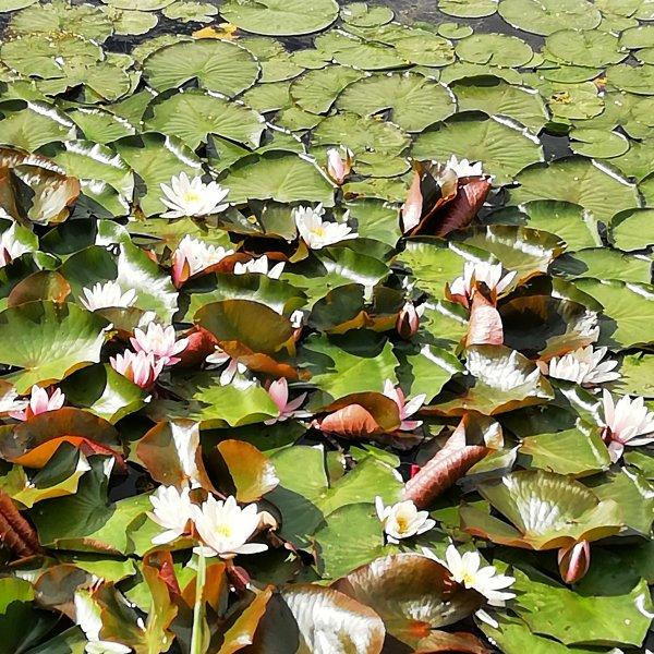 Лилии на Травинском.