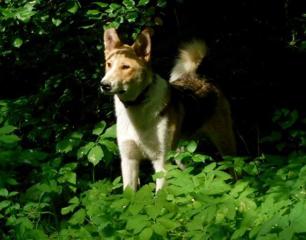 Домашняя собака динго