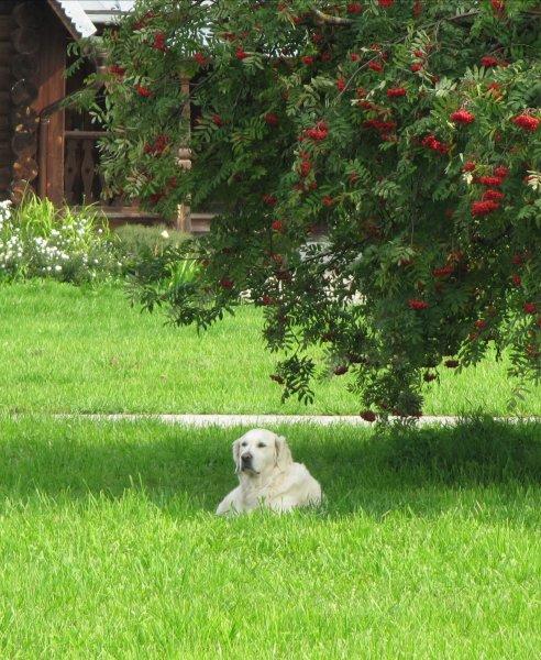 Монастырский пес.