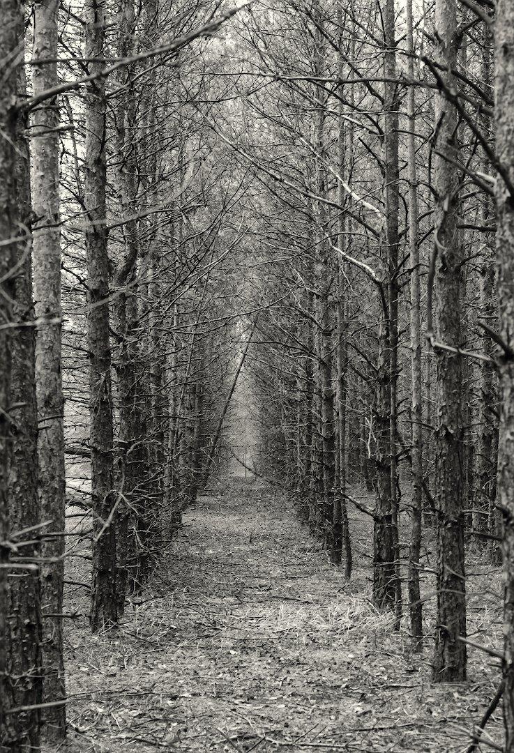 Стройный черно-белый лес