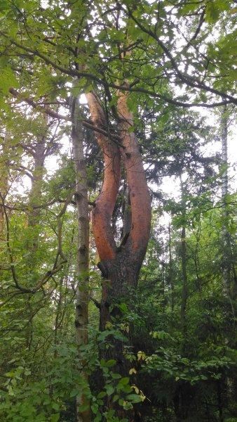 Лесной камертон.