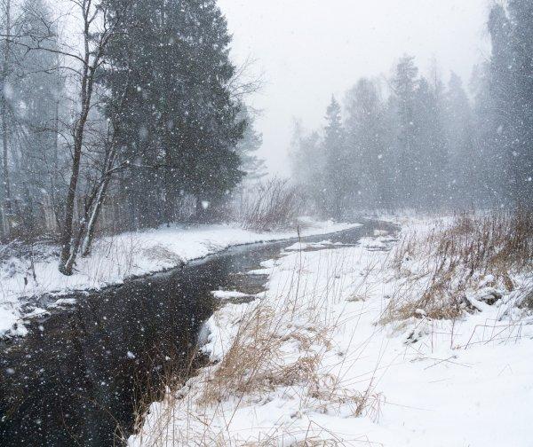 Серебрянка в снегу