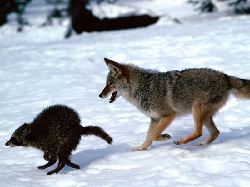 картинка как охотится волк зимой они